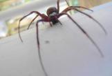 Sợ nhện độc tấn công, 7 trường học ở Anh tạm đóng cửa