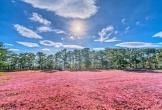 Có thể bạn chưa biết: Cỏ hồng không chỉ là 'tuyệt phẩm' ở Đà Lạt mà còn ở Gia Lai, Vũng Tàu