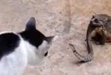 Rắn dữ tử chiến với mèo nhà dù đang bị ăn sống bởi cóc khổng lồ