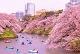 Mùa đông chưa qua nhưng đã có lịch hoa anh đào nở ở Nhật Bản để bạn chuẩn bị lên đường chiêm ngưỡng