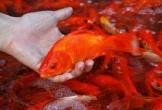 Tết ông Công, ông Táo: Chọn và thả cá chép như thế nào mới đúng phong tục dân gian
