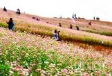 Hà Giang mở hội hoa tam giác mạch