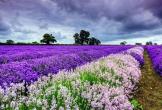 Mùa hè này đi đâu ngắm cánh đồng hoa lavender?