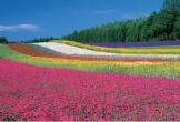Đi Nhật Bản mùa hoa lavender nở: Những cánh đồng sắc màu