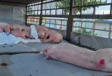 Tài xế chở lợn nhiễm virus dịch tả lợn châu Phi dừng bán ở Quảng Nam bị phạt 8 triệu đồng