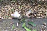 Khỉ con đau buồn, cố lay xác mẹ trong vô vọng gây xúc động