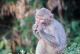 Cho khỉ ăn và hệ lụy không ngờ khi tham quan bán đảo Sơn Trà