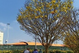 Trầm trồ cây mai vàng đại thụ lần đầu xuất hiện ở chợ hoa Tết Đà Nẵng