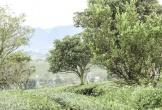 Những cánh đồng chè đầy thơ mộng ở Mộc Châu