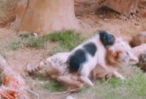 Hổ vằn khổ sở trước đòn tấn công liên tiếp của lợn con