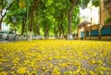 Hà Nội phủ sắc vàng mùa lá sấu rụng