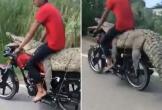 Hoảng hồn nam thanh niên thản nhiên ngồi lên lưng cá sấu lái xe máy trên đường