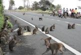 Đàn khỉ trăm con tràn xuống đường xin ăn, Đà Nẵng cử người ngăn chặn